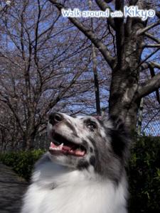 桔梗と散歩 桜