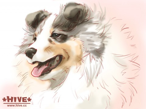 Sheltie Illustration