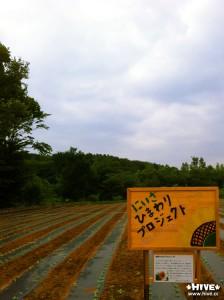 夏が楽しみな、ひまわり畑